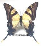 Eurytides serville (Peru) front