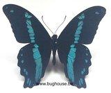 Papilio Bromius (RCA)  front