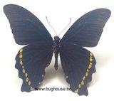 Papilio Bromius (RCA)  back