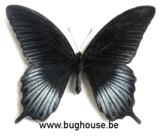 Papilio Lowi FORM 1 (Philippines)