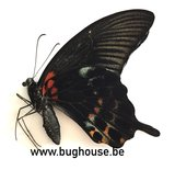 Papilio Lowi  underside