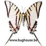 Eurytides protesilaus (Peru) UNDERSIDE