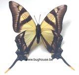 Eurytides serville (Peru) front back