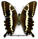 Papilio delalandei (Madagascar) ♂︎