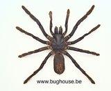 Eurypelma spinicrus - Tarantula (Indonesia) (Medium)