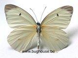 Ascia buniae (Peru)  back