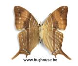 Marpesia Corinna (peru) UNDERSIDE