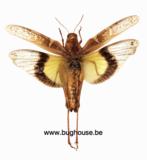 Gastrimargus Africanus parvulus (Java)