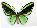 Ornithoptera Priamus poseidon male (indonesia) **cites**