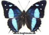 Baeotus baeotus (Peru)