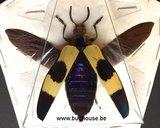 Chrysochroa buqueti (Malaysia) SPREAD