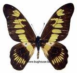 Graphium latreillianus theorini
