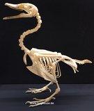 Duck Skeleton (Nuscovy duck)