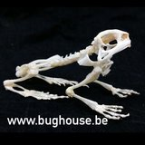 Asian Common Toad skeleton
