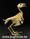 Japanese quail Skeleton