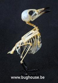 Small Minivet bird Skeleton (Indonesia)