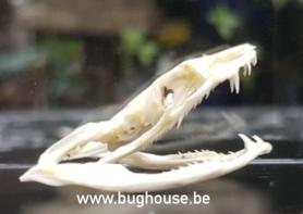 Ahaetulla prasina snake Skull (Indonesia)