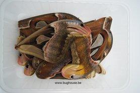 Attacus atlas wings for art work