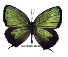Arhopala eumolphus (Java) ♂︎