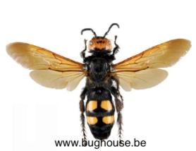 Megascolia Maculata (Greece) Female