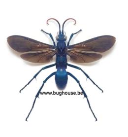 Hemipepsis fumipennis (Sulawesi) FEMALE
