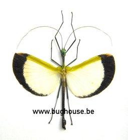 Tagesoidea Nigrofasciata (Malaysia)  ♂︎/♀︎ **SPREAD**