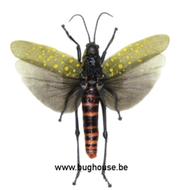 Aularches Punctatus (Java) *Spread*