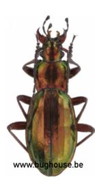 Chrysocarabus Punctato (Frankreich)