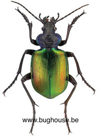 Calosoma sycophanta (Bulgarien)