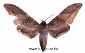 Acanthosphinx guessfeldtii (Cameroon) ♂︎