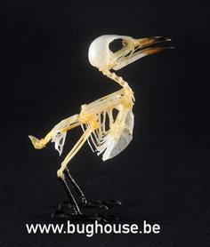 Red-headed honey bird Skeleton