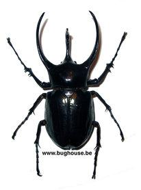 Chalcosoma caucasus (Vietnam) 90-95mm ♂︎