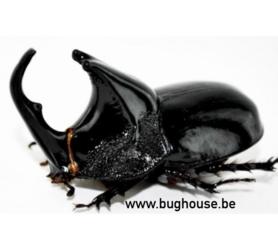 Thrycogomphus Alcides (Kalimantan)♂︎