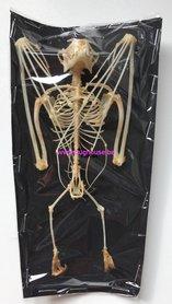 Cynopterus brachyotis Skeleton (Hanging) (Java)