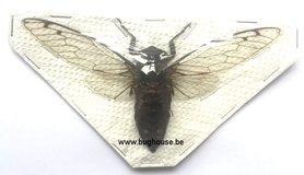Platytomia Viridimaculata (Borneo) ♂︎/♀︎ **SPREAD**