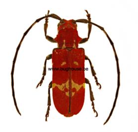 Callimation venustum (Madagascar) ♂︎