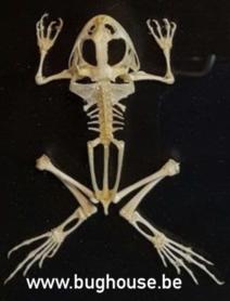 Fejervarya Skeleton