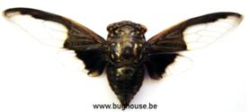 Cryptotympana Aquila (Thailand) ♂︎