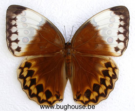 Stichophthalma Louisa (Thailand)