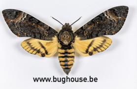 Acherontia Styx (Java) ♀︎