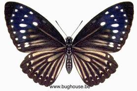 Euploea Mulciber (Philippines) ♀︎