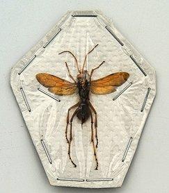 Wasp sp1. (Java) ♂︎/♀︎ **SPREAD**