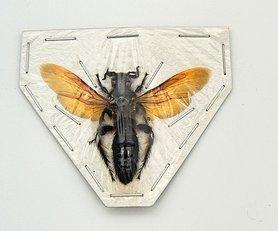 Wasp sp3. (Java) ♂︎/♀︎ **SPREAD**