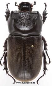 Ceratoryctoderus Candezei (Sulawesi) ♂︎