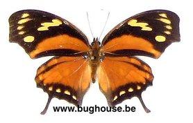Anaea Fabius (Peru) ♂︎