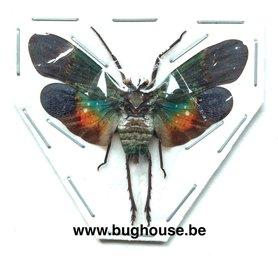 Penthicodes Farinosa (Peleng) ♂︎/♀︎ **Flügel geöffnet**