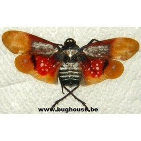 Penthicodes Farinosa (W-Kalimantan) ♂︎/♀︎ **Flügel geöffnet**