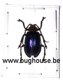 Chrysomelidae (Sulawesi) **Blue** ♂︎/♀︎