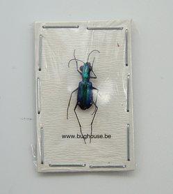 Prothyma Quadriguttata (Java) ♂︎/♀︎