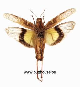Gastrimargus Africanus parvulus -FEMALE (Java)